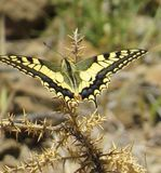 Swallowtail butterfly, resting on a dried thistle. Royalty Free Stock Photo