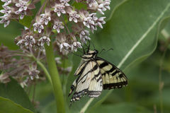 Swallowtail butterfly. Beautiful swallowtail butterfly foraging on pink milkweed flowers royalty free stock image