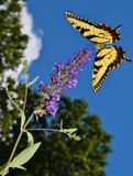 Swallowtail Butterfly Stock Image