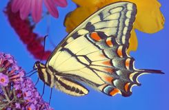 Swallowtail butterfly. A Swallowtail butterfly on a Buddleia or Buddleja flower stock images