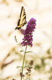 Swallowtail Butterfly Royalty Free Stock Photography