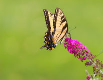 Swallowtail Butterfly. On a Butterfly Bush royalty free stock photography