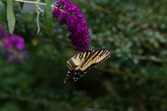 A Swallowtail on a Butterfly Bush Stock Image