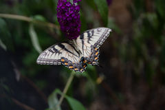 A Swallowtail on a Butterfly Bush Stock Photos