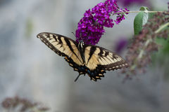 A Swallowtail on a Butterfly Bush Royalty Free Stock Photography