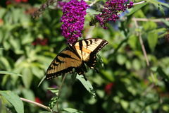 Swallowtail Butterfly on Butterfly bush Royalty Free Stock Photos