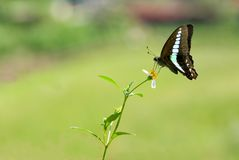 Swallowtail butterfly (butterfly series) Stock Images
