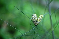 Swallowtail Butterfly Caterpillar Stock Photos