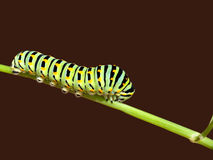 Swallowtail butterfly caterpillar, papilio machaon Stock Photos