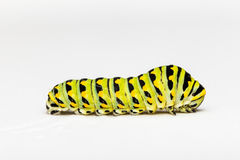Swallowtail Butterfly Caterpillar On White Background. The caterpillar of the swallowtail butterfly. This larva is green and yellow striped with black spots. It stock photo
