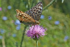 Swallowtail butterfly. Royalty Free Stock Photo