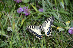 Swallowtail butterfly Royalty Free Stock Image