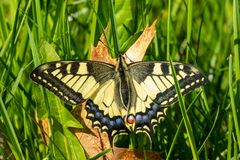 Swallowtail Butterfly close-up view. Swallowtail Butterfly sits on the old leaf in a sunny day. Close-up view royalty free stock photography