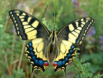 Swallowtail butterfly, Papilio machaon. Swallowtail butterfly closeup, Papilio machaon royalty free stock images