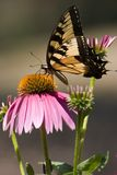 Swallowtail Butterfly on Cone Flower stock photos