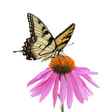 Swallowtail Butterfly and Coneflower. Photo-realistic hand drawn vector illustration of an Eastern Tiger Swallowtail Butterfly sipping nectar from a coneflower Royalty Free Stock Photography