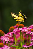 Swallowtail Butterfly on coneflower Stock Images
