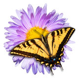 Swallowtail Butterfly and Daisy Flower Isolated stock images