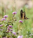 Swallowtail Butterfly. Drinks the nectar from a flower royalty free stock photography