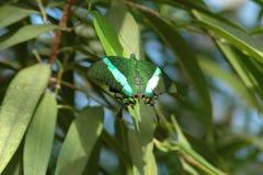 Swallowtail butterfly emerald (papilio palinurus) on leaves Stock Photo