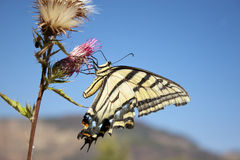 Swallowtail Butterfly Feeding Royalty Free Stock Photos