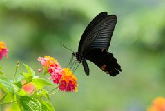 Swallowtail butterfly feeding on  flowers Royalty Free Stock Photos