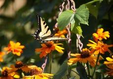 Swallowtail Butterfly. Feeding on a garden flower stock image
