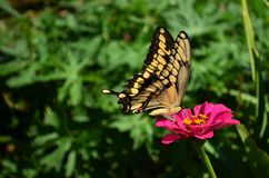 Swallowtail butterfly on a pink zinnia. Swallowtail butterfly feeding on a pink zinnia stock photo