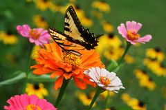 Swallowtail butterfly feeding on a zinnia blossom in a summer garden. Tiger Swallowtail butterfly feeding on a large orange zinnia blossom in a colorful summer royalty free stock photos