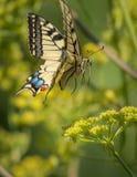 Swallowtail butterfly in flight. Landing on a flower Royalty Free Stock Image