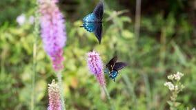 Swallowtail butterfly in flight wings open. Second butterfly on purple flower Stock Images