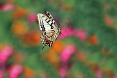 Swallowtail butterfly flitting above flowers on a bright summer meadow Stock Photography