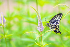 Swallowtail butterfly and flower. Swallowtail butterfly sucking nectar from flower on green background of plants stock photography