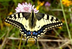 Swallowtail butterfly on a flower. Swallowtail butterfly, Papilionidae, in the fields of Portugal. Queen of the butterflies royalty free stock images