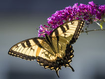 Swallowtail Butterfly on Flower Royalty Free Stock Images