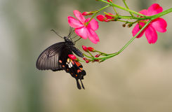 Swallowtail butterfly on flowers Stock Photos