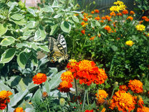 Swallowtail butterfly and flowers in garden Stock Photography