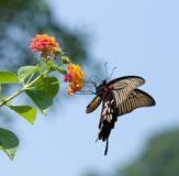 Swallowtail butterfly flying and feeding Royalty Free Stock Images