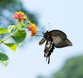 Swallowtail butterfly flying and feeding Stock Images