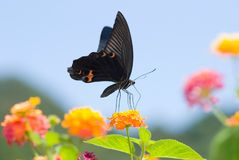 Swallowtail butterfly flying under blue sky Royalty Free Stock Image