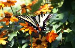 Swallowtail Butterfly on Garden Flowers Royalty Free Stock Images