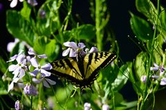 Swallowtail butterfly  in the garden. royalty free stock photo