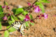 Swallowtail butterfly gathers nectar from forest flowers.  stock photos