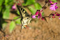 Swallowtail butterfly gathers nectar from forest flowers.  stock image