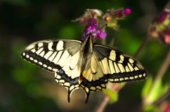 Swallowtail butterfly gathers nectar from forest flowers.  royalty free stock photo