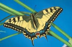 Swallowtail butterfly. A Swallowtail butterfly on a grass stalk stock photos