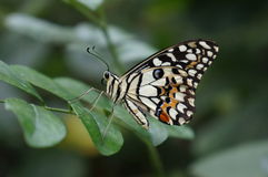 Swallowtail Butterfly. On a green leaf royalty free stock image