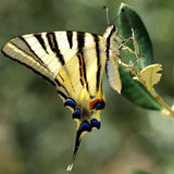 Swallowtail butterfly in green natural environment Royalty Free Stock Photography