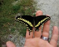 Swallowtail Butterfly on a hand with wedding band. Black and yellow Swallowtail Butterfly on a hand with wedding band green grass and grey gravel stock photography