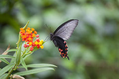 Swallowtail Butterfly Hovering by Flower. Papilio helenus, a swallowtail butterfly, hovering by a flower to gather nectar. Captured at a very fast shutter speed Stock Image
